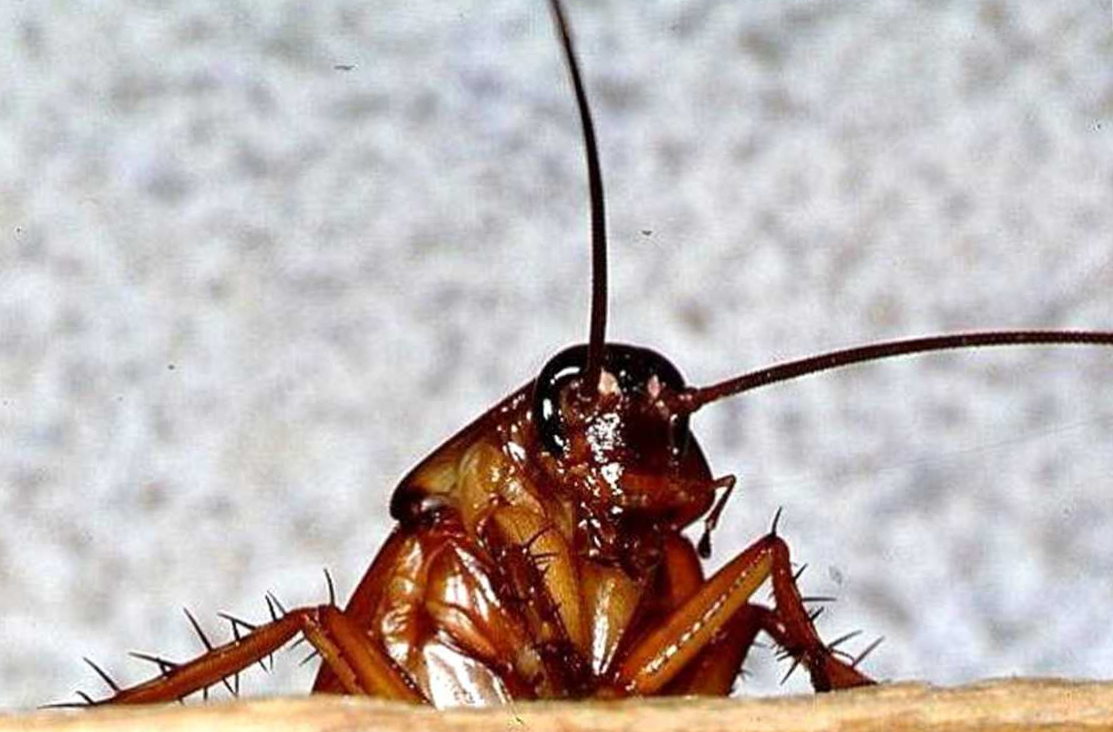 Чем вывести тараканов в домашних условиях быстро 775