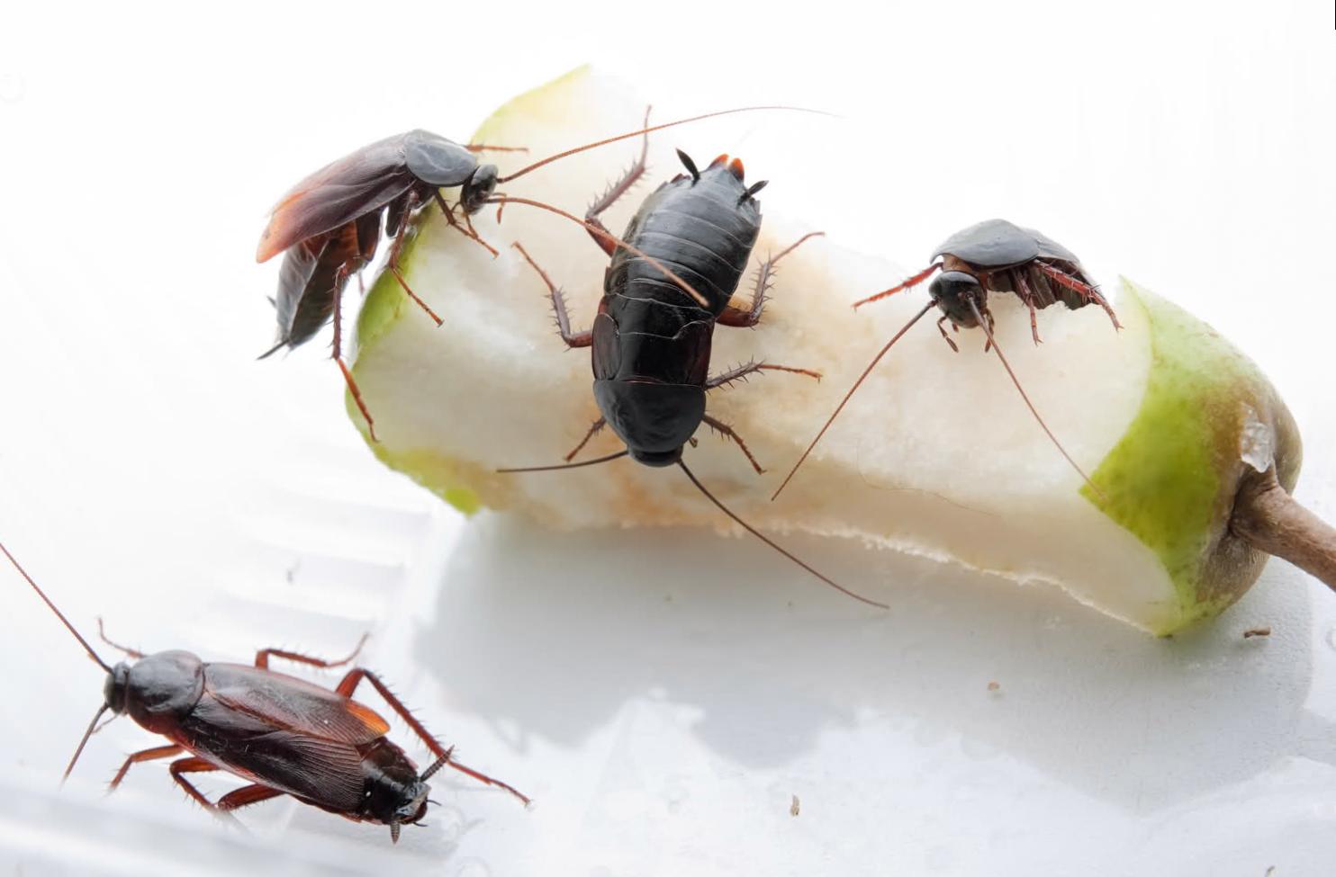 Чем вывести тараканов в домашних условиях быстро 43