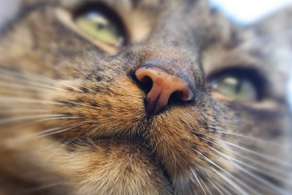 Сухой и теплый нос у кота1
